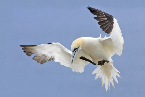 Northern Gannet, Bonaventure Island, Near Perce, Gaspe Peninsula, Quebec